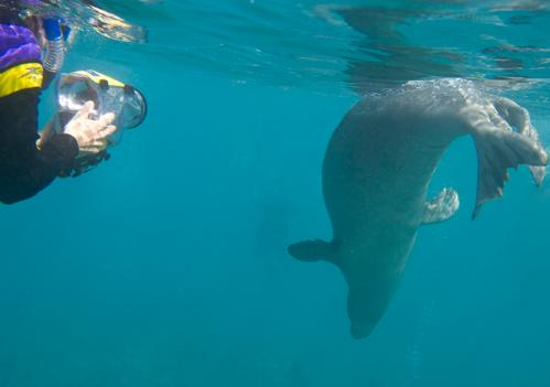 Andrea Auletta Photographing a Rare Hawaiian  Monk Seal 1/4 mile off the Maui Coast