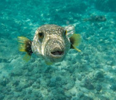 Hawaiian Puffer Fish